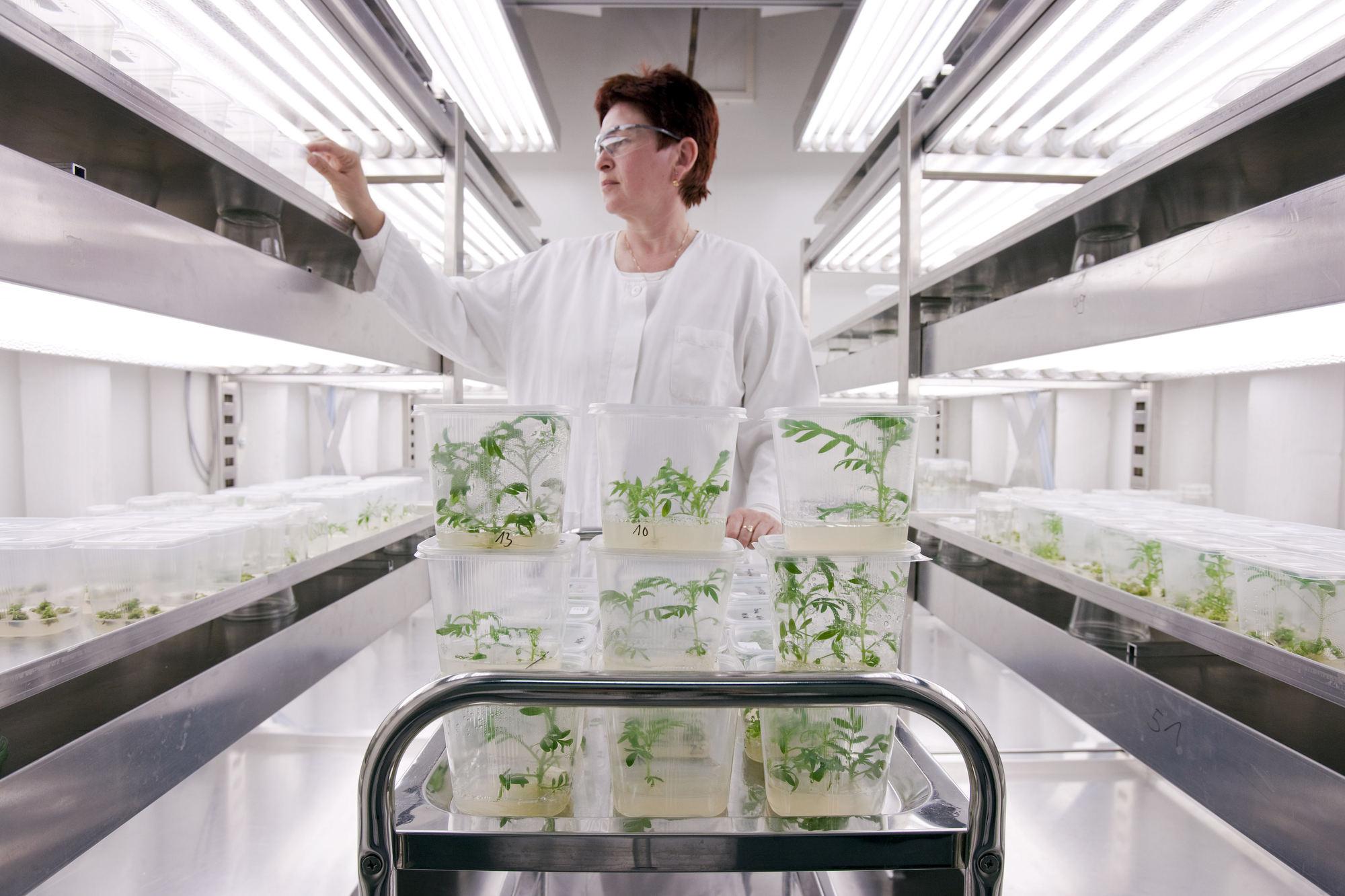 SunGene GmbH Gatersleben - Kontrolle gentechnisch veränderter Pflanzen / Corporate Fotografie / Foto Tom Schulze